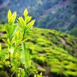 Extractul de ceai verde poate preveni cancerul de prostată