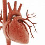 Microelementele nutritive susţin funcţionarea muşchiului cardiac