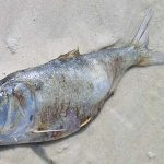 Pesticidele obişnuite omoară peştii prin înfometare, deoarece ucid insectele acvatice